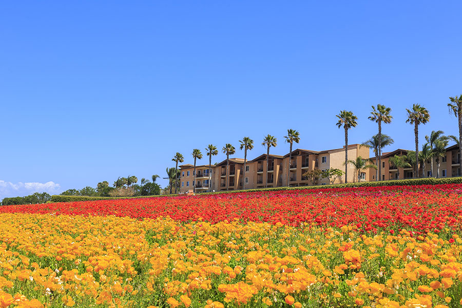 Flower Fields at Carlsbad California